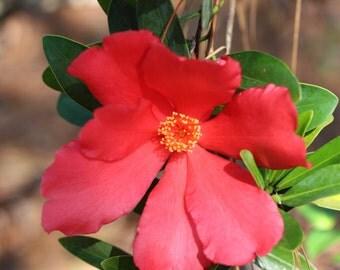 Azalea Camellia Love