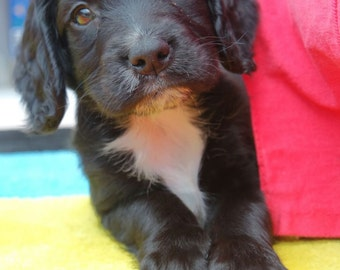 Sprocker Spaniel Puppy Photo