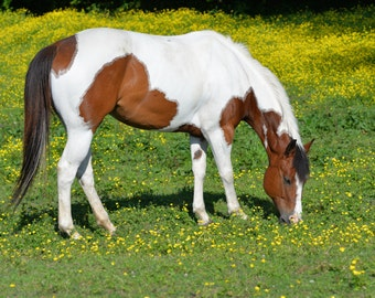 Horse in Yellow Field, Horse Grazing, Horse Photo, Pinto Horse, Pinto, Photograph of a Pinto, Brown and White Horse, Horse in Field Eating