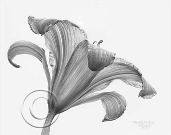 Sheer Delight, flower,lily,black and white,B&W, photo art,photo,Gift,Home Decor,Home Decor Office,Award Winning,wall picture,horizontal