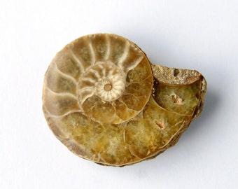 Ammonite Fossil Cabochon (9961)