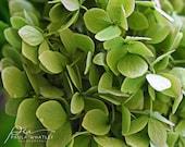 green Hydrangea Flower Photo, light green art, flower decor, green decor, green art photo, green flower art, hydrangea photo. hydrangea art