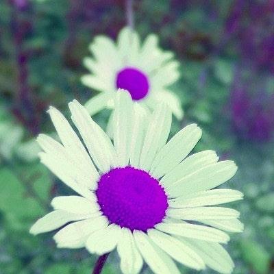 Purpledaizie