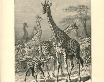 Antique Victorian Engraving Print of Giraffes 1880s