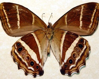 Real Framed Rare Taygetis Albinotata Verso Butterfly 841