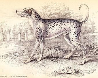 Antique Canine Dog Print . Dalmatian or Coach Dog . Vol II . original old engraving vintage plate circa 1850