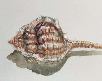 Shell watercolor study
