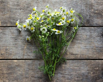 German Chamomile, heirloom organic seeds, from our farm, herb garden, organic herbs, spring planting, natural pest control, gardener