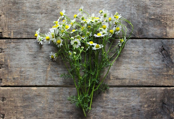 German Chamomile // heirloom organic seeds // from our farm //  herb garden // organic herbs // spring planting // natural pest control