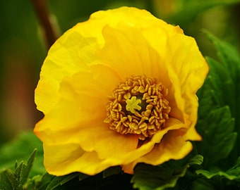 Special Order for Michelle, Medium/Large Yellow Poppy With Green Leaves Pin (For Dress), Brooch or Hair Clip
