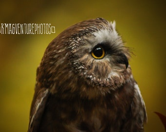 Saw Whet Owl Photographic Print, Photograph, Bird, Wildlife