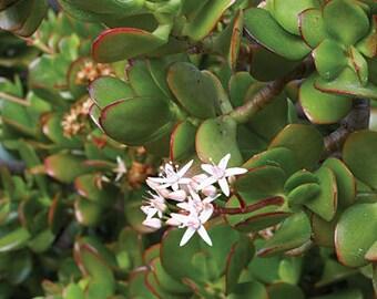 Jade Succulent Plant Cutting (C. ovata Crassula)