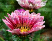 Pink Flower on a Brick wall - 5x7 Photographic Art Print