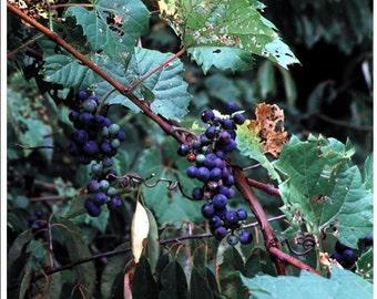 Wild Grape Jam