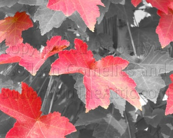 Enhanced Candy Apple Red Autumn Leaves from Sugar Maple on Black & White Background Contrast Macro Photography Photograph Home Decor Fall