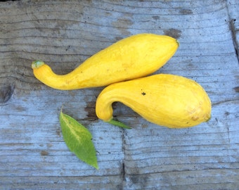 SALE! Crookneck Heirloom Squash Seeds Grown to Organic Standards