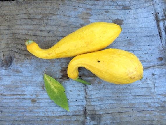 SALE! Crookneck Heirloom Squash Seeds Grown to Organic Standards