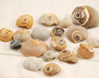 18 medium spiral moon snail seashell tops (no.52)