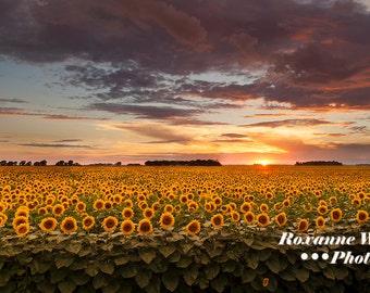 Sunflower print//North Dakota//sunflowers sunset//blooming sunflowers//sunflower decor