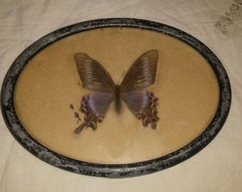 Antique Butterfly Framed Display Kiblers Holland