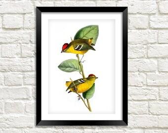 BIRDS of BRAZIL PRINT: Vintage Bird Art Illustration Wall Hanging (A4 / A3 Size)