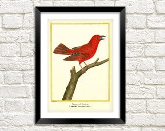 TANAGER ART PRINT: Vintage Red Bird Illustration Wall Hanging (A4 / A3)