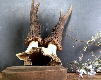 ON SALE Antique Mounted Deer Antler with Skull On Wood