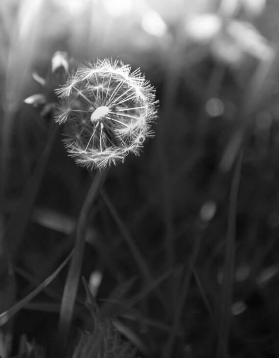 "18 x 12"" Monochrome Dandelion"