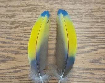 """Matched Pair Scarlet Macaw 4 3/4"""" Covert Wing Feathers SB21"""