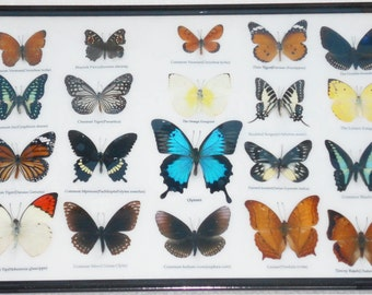 REAL 20 Butterflies Wall Decor Housewares Collectible TAXIDERMY Framed Extra ULYSSES/BTF14G