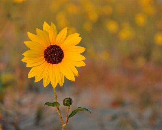 "Sunflower photograph, botanical print, sunflower decor, yellow flower photo, bathroom wall decor, ""Sunflower Portrait #1"""