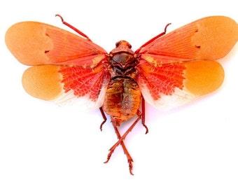 Scamandra Sanguiflua (Orange Sunburst Lanternfly) A1