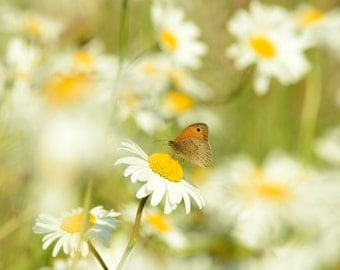 Daisy and Butterfly Photographic Print