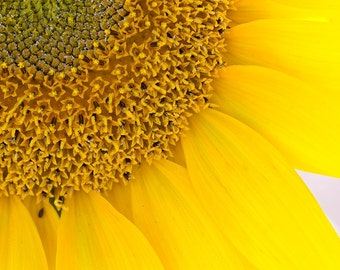 Sunny Up Close - Nature Wall Art - Flowers - Nature Photography - Flower Art Print - Bright Yellow - Sunflower - Fpoe - 8x8