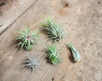 Wholesale Ionantha Air Plants - 50 plants - FREE SHIPPING!