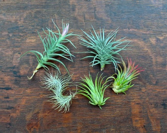Air Plant Combo Pack - 5 Tillandsias - FREE SHIPPING!