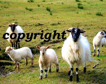 Amateur High Quality Ireland Print - SHEEPS & LAMBS