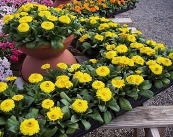 Pot Marigold Seeds - FARON - Calendula - MEDICINAL Herb - Edible - 25 Seeds
