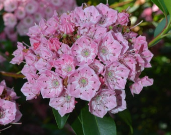 Mountain Laurel Plant 2015 Seeds