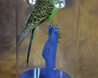 the real bird Taxidermy budgerigar with glass dome and wood base,home decoration,free shipping to the worldwide