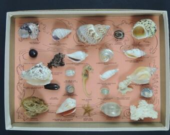 Vintage Box of Seashell Specimens
