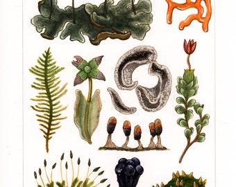 Botanical Illustration Print II