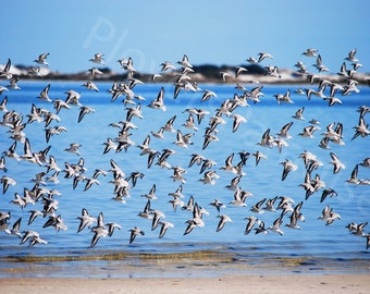 Sanderlings Flying // Flying Birds // Florida Nature Photo // Bird Photo // Beach Birds