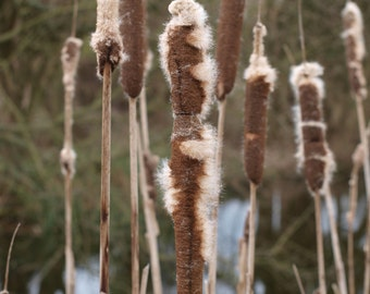 BULK 40g Bulrush / Cattail / Reed fluff down - fairy magick wishes, flint and steel bushcraft tinder - stuffing