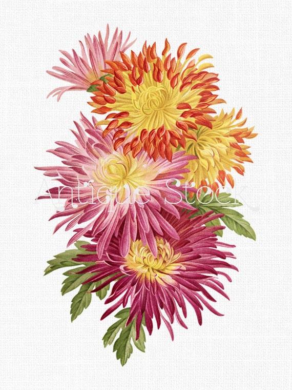 Flowers Clipart 'Chrysanthemum Varieties' Printable