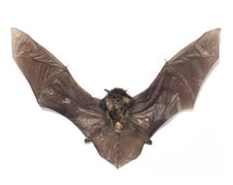 Taxidermy Bat Vesper Bat
