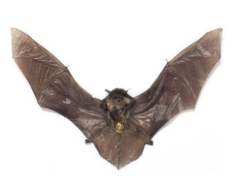 Taxidermy Real Bat - Vesper Bat (pipistrellus)