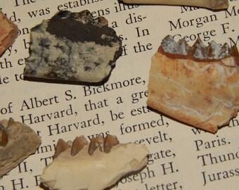 Genuine TOOTH FOSSIL - Leptomeryx Teeth & Jaw Fragment Fossil - Early Deer Fossil - Oligocene Epoch Fossil - Teeth Fossil - Bone Fossil