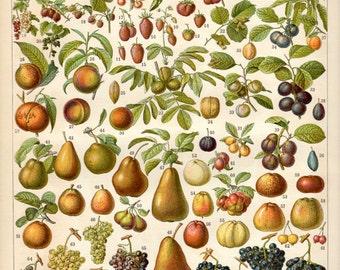 Vintage Fruit Poster - Botanical Print - French Fruit Print - Wall Art Home Decor Fine Art Gift Ideas #vi236