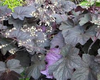 Heuchera Purple Palace Flower Seeds / Micrantha/ Perennial  50+